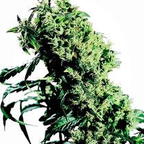 cannabis hybride 3
