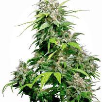 cannabis hybride 2
