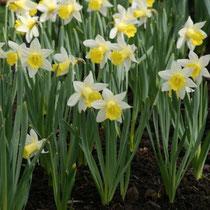 Narcisse, ici variété 'Topolino' -  Crédit photo : promesse de fleurs
