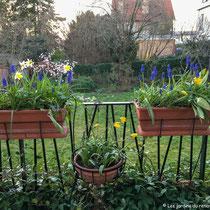 Début printemps 2019 : floraison des jonquilles, tulipes, anémones et muscaris