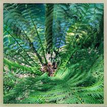 Frondes de fougère arborescente © Sandrine Tellier
