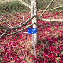 Arboretum des Barres - Euonymus atropurpureus