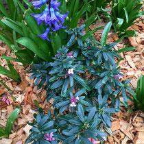Belle association : Daphné plantée et jacinthe venue d'un autre temps...