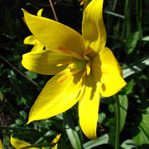 Tulipe sauvage (Tulipa sylvestris) - Crédit photo : wikipedia