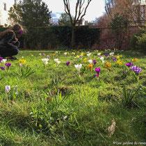 Pelouse plantée de bulbes printaniers - © Sandrine Tellier