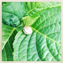Petit escargot dans son nid de feuilles d'hortensias - © Sandrine Tellier