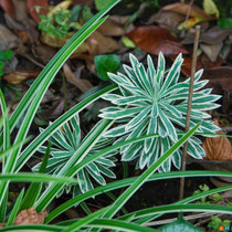 Euphorbe characias 'Tasmanian Tiger' et carex 'Ice Dance'
