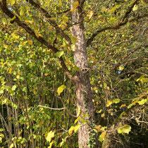 Arboretum des Barres - Coryllus colliurna