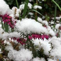 Bruyère d'hiver