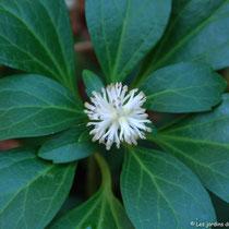 Pachysandra - Pour les endroits ombragés - Floraison printanière très parfumée - S'étale lentement - © Sandrine Tellier