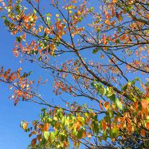 Arboretum des Barres - Rhus potaninii