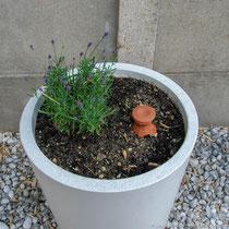 Lavande dans un pot en béton blanc (Des couleurs en la matière)