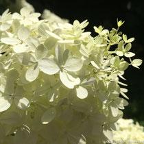 Hydrangea paniculata © Sandrine Tellier