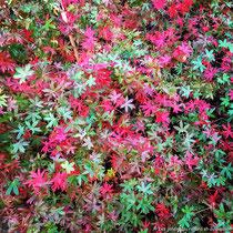 Géranium vivace sanguin -  Soleil à mi-ombre - S'étale rapidement - Belle coloration automnale - © Sandrine Tellier
