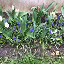 Début avril 2018 : tulipes, muscaris et pulmonaires
