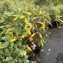 Edgworthia : floraison parfumée !