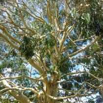 Eucalyptus - branchages