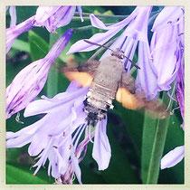 Sphinx colibri (papillon) - © Sandrine Tellier