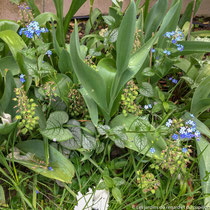 Fin avril 2018 : floraison du brunnera