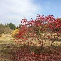 Arboretum des Barres - Rhus