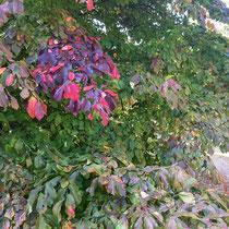 Arboretum des Barres - Parrotia persica