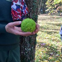 Arboretum des Barres - Fruit de Maclera pomicera
