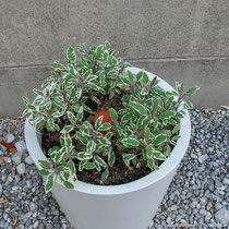 Sauge officinale tricolor dans un pot en béton blanc (Des couleurs en la matière)