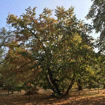Arboretum des Barres - Firmiana simplex