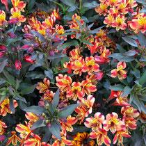 Lys des incas (Alstroemeria)