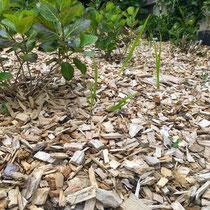 BRF : bois raméal fragmenté