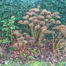 Fleurs séchées des hortensias