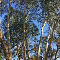 Arboretum des Barres - Eucalyptus pauciflora