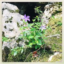Quinta da Regaleira - Pervenches accrochées à une pierre © Sandrine Tellier