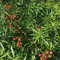 Fruits d'un rosier se détachants sur le feuillage persistant de l'oranger du Mexique
