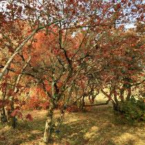 Arboretum des Barres - Acer pseudosieboldianum