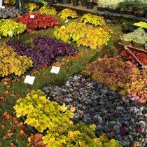 Multitude de couleurs des heuchères