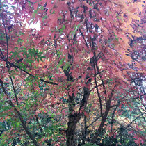 Arboretum des Barres - Acer triflorum