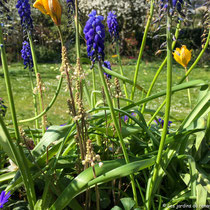 Printemps 2019 : fin de floraison des tulipes et muscaris, apparition des fleurs de tiarelles