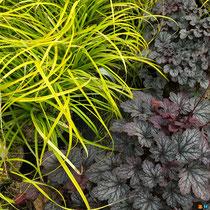 Heuchere 'Shangai' et Carex oshimensis 'Everillo'