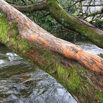 Vieux tronc de magnolia