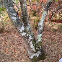 Arboretum des Barres - Maackia amurensis