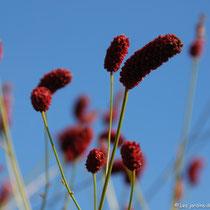 Fleurs de sanguisorba