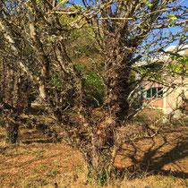 Arboretum des Barres - Gleditsia caspica