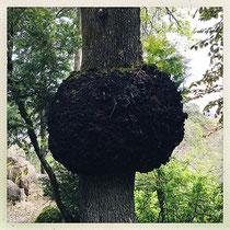 Quinta da Regaleira - Une gale sur un tronc ? © Sandrine Tellier