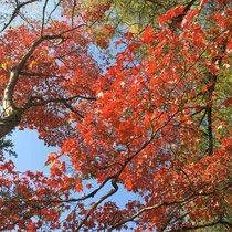 Arboretum des Barres - Acer Oliverianum