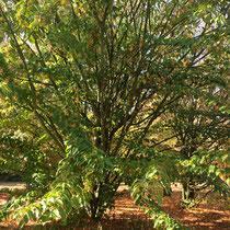 Arboretum des Barres - Acer Davidii