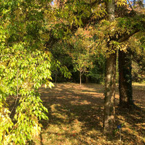 Arboretum des Barres - Celtis occidentalis