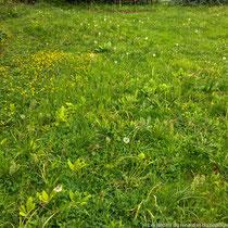 Fin avril : la pelouse reprend ses droits et recouvre les feuilles jaunissantes des bulbes (qu'il faut laisser pour qu'ils se régénèrent et refleurissent l'année suivante!)
