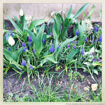 Sous les bulbes de printemps, on ne voit pas encore le feuillage de la pervenche fraichement plantée, mais l'année prochaine, ce sera l'accord parfait ! © Sandrine Tellier