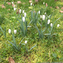 Perce-neige (Galanthus nivalis)